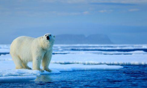 氷の上にたたずむホッキョクグマ